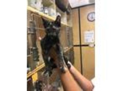 Adopt Charity a All Black Domestic Shorthair / Domestic Shorthair / Mixed cat in