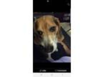 Adopt Miller a Tricolor (Tan/Brown & Black & White) Beagle / Mixed dog in Fort