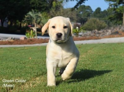 Labrador Retriever PUPPY FOR SALE ADN-91591 - AKC Registered Yellow Labs