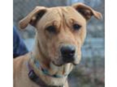 Adopt Holly a Labrador Retriever, Pit Bull Terrier