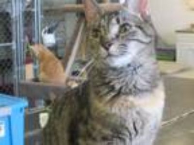 Adopt Lalen a Domestic Short Hair