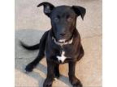 Adopt Sabrina Spellman a Black Pit Bull Terrier / Labrador Retriever dog in New