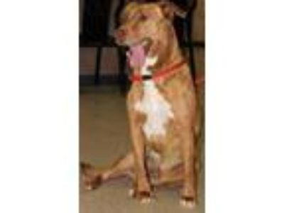 Adopt Whiskey a Tan/Yellow/Fawn Retriever (Unknown Type) / Mixed dog in