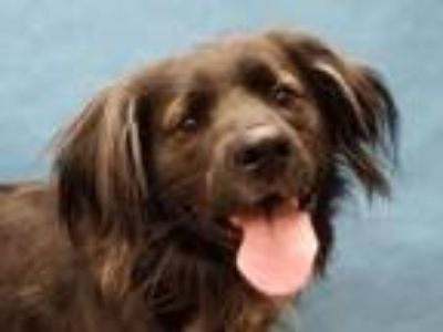 Adopt Bear a Border Collie, Cocker Spaniel