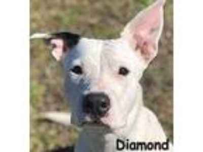 Adopt DIAMOND a White Terrier (Unknown Type, Small) / Mixed dog in Palm Coast