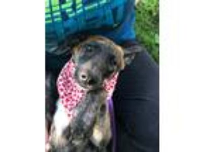 Adopt Willie a Brindle Dutch Shepherd / Labrador Retriever / Mixed dog in