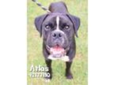 Adopt Atlas a Black Boxer / Mixed dog in Gulfport, MS (25893835)