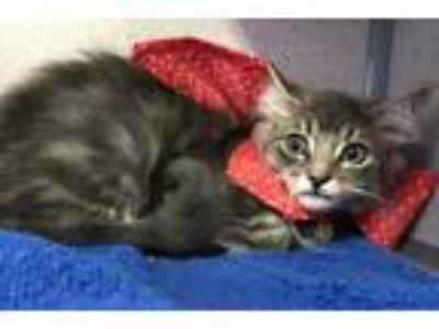 Adopt Timmy a Gray or Blue Domestic Longhair / Domestic Shorthair / Mixed cat in