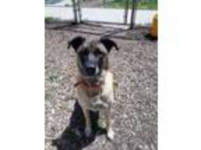 Adopt Maggie a Tan/Yellow/Fawn - with Black Mastiff / Mixed dog in Martinsville