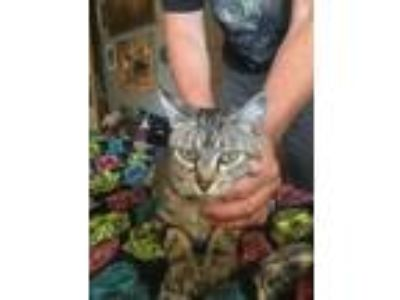 Adopt Cutie a Brown Tabby Domestic Shorthair / Mixed (short coat) cat in Davis
