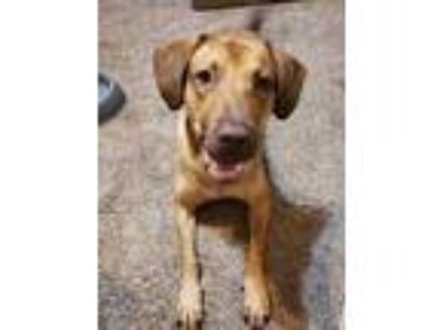 Adopt Cisco Catfish a Red/Golden/Orange/Chestnut Chesapeake Bay Retriever /