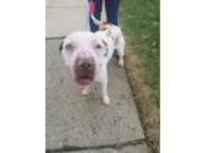 Adopt Spud a American Staffordshire Terrier, Staffordshire Bull Terrier
