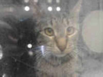 Adopt *SHANDY a Brown Tabby Domestic Shorthair / Mixed (short coat) cat in Long