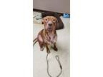 Adopt Ella a American Pit Bull Terrier / Mixed dog in Chillicothe, OH (25268936)