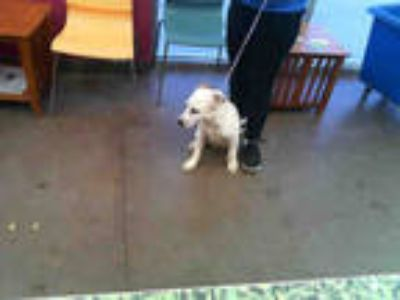 Adopt PUPPY a White - with Brown or Chocolate Catahoula Leopard Dog / Mixed dog