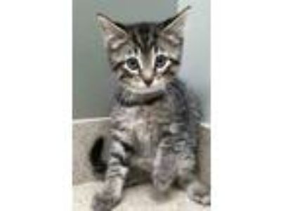 Adopt Aiden a Gray, Blue or Silver Tabby Domestic Shorthair (short coat) cat in