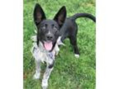 Adopt Poppy (4 months old) a Pointer, Australian Cattle Dog / Blue Heeler