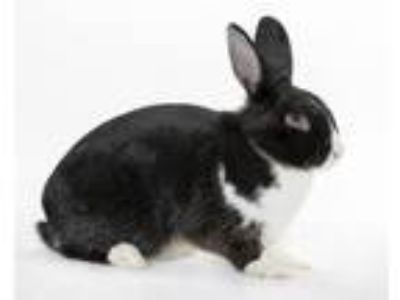 Adopt Pancake a Other/Unknown / Mixed rabbit in Monterey, CA (25282401)