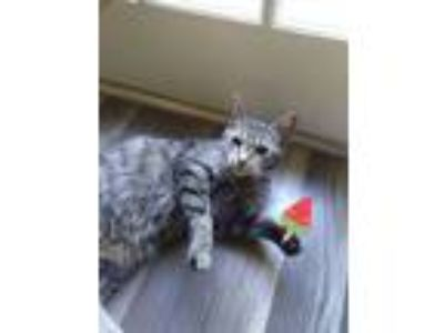 Adopt Shion a Gray, Blue or Silver Tabby American Shorthair cat in Memphis