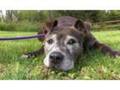 Adopt Emmy a Pit Bull Terrier