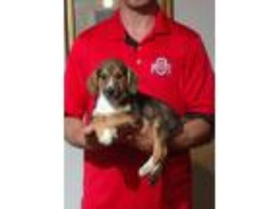 Adopt Tucker a Brown/Chocolate - with White Beagle / Basset Hound / Mixed dog in