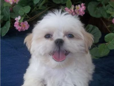 Shih Tzu Puppies, AKC