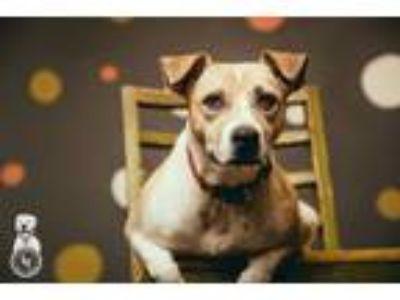 Adopt Cookie a Staffordshire Bull Terrier, Australian Cattle Dog / Blue Heeler