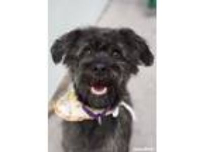 Adopt Blue a Poodle, Terrier
