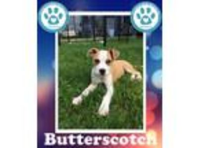 Adopt Butterscotch a Tan/Yellow/Fawn - with White Boxer / Mixed dog in