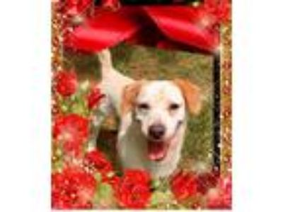 Adopt Dan a White - with Brown or Chocolate Labrador Retriever / Mixed dog in