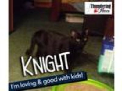 Adopt Knight a Domestic Short Hair