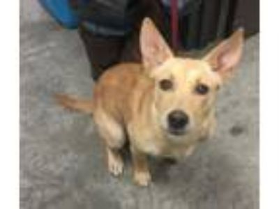 Adopt Goldie a Shepherd, Mixed Breed