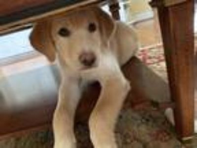 Adopt Voltorb a Tan/Yellow/Fawn Great Pyrenees dog in MCLEAN, VA (25587613)
