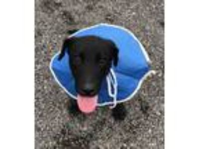 Adopt Bamm-Bamm a Black Labrador Retriever / Mixed dog in Redmond, OR (25275851)
