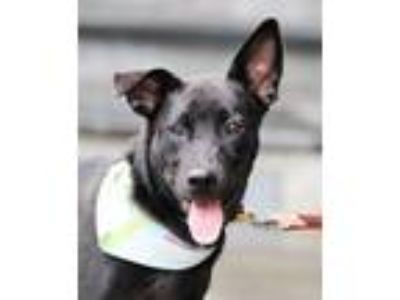 Adopt Elmer a Black Labrador Retriever / Spitz (Unknown Type
