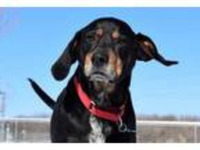 Adopt Kelso a Hound