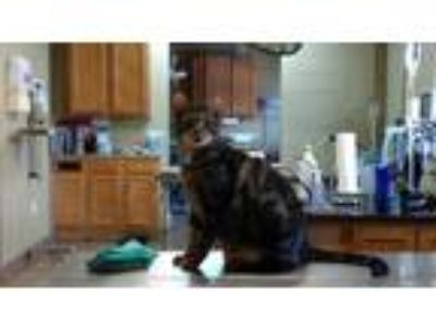 Adopt Lord Alfred a Domestic Short Hair, Tabby