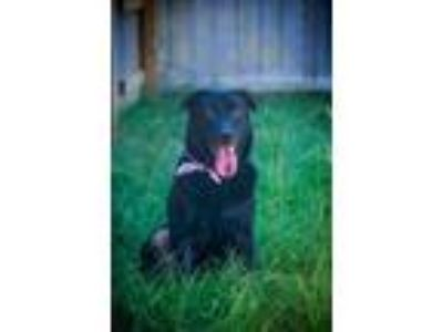 Adopt Beyonce a Labrador Retriever, German Shepherd Dog