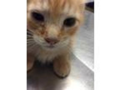 Adopt Butta a Orange or Red Domestic Shorthair / Domestic Shorthair / Mixed cat