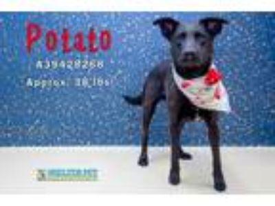 Adopt Potato a Black Labrador Retriever / Mixed dog in San Angelo, TX (23010133)