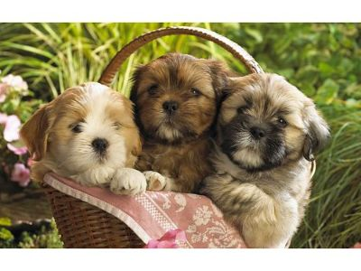 SHIH-TZU PUPPIES! WORMED, U.T.D. ON SHOTS W/HEALTH ...