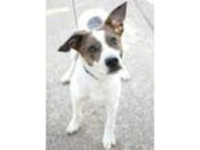 Adopt Poppers a White Australian Cattle Dog / Jack Russell Terrier / Mixed dog