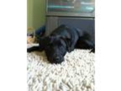 Adopt Vinny a Black - with White Labrador Retriever / Whippet / Mixed dog in