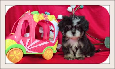 Shih Tzu PUPPY FOR SALE ADN-94651 - MALTESE MIXED WITH SHIH TZU PUPS