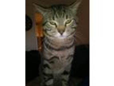 Adopt CJ a Gray, Blue or Silver Tabby Domestic Shorthair / Mixed cat in