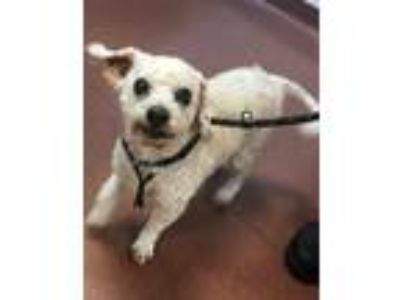 Adopt Freddy a Poodle (Miniature) / Mixed dog in Oakland, CA (25333301)