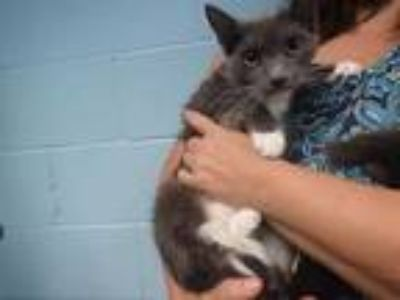 Adopt ARIA a Gray or Blue (Mostly) Domestic Shorthair / Mixed (short coat) cat
