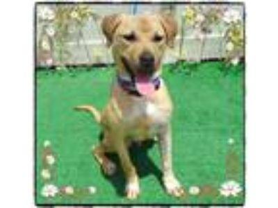 Adopt LINCOLN a Labrador Retriever