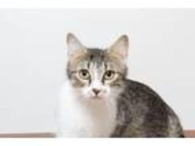 Adopt Olivia C190229:PENDING ADOPTION a Domestic Short Hair