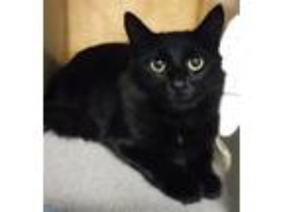 Adopt Lily a Domestic Mediumhair / Mixed cat in Silverdale, WA (25346813)